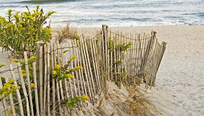 We grow and sell perennial NJ coastal dune plants