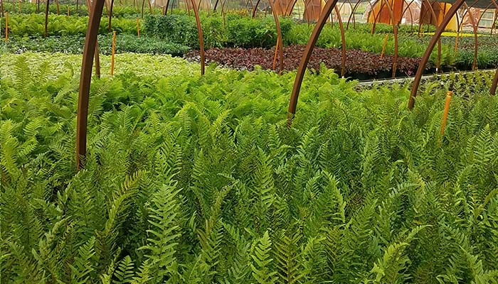Wholesale growers of ferns