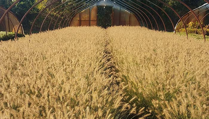 We grow a wide variety of grasses from Pennisetum, Panicum, Miscanthus, Carex, and many others.